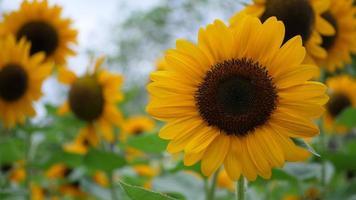 Beautiful sunflower in the wind video