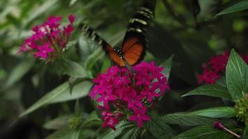 schwarzer und orange Schmetterling auf rosa Blumen
