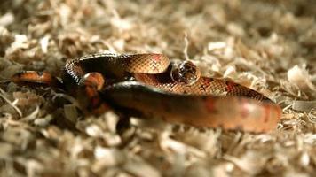 serpente in ultra slow motion (1.500 fps) - serpenti fantasma 007
