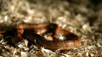 serpente in ultra slow motion (1.500 fps) - snakes phantom 010