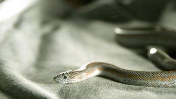cobra em câmera ultra lenta (1.500 fps) - cobras fantasma 003 video