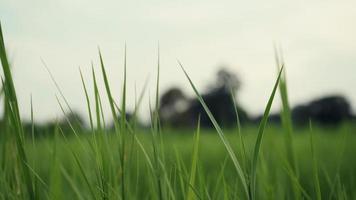 grama verde com rajadas de vento video