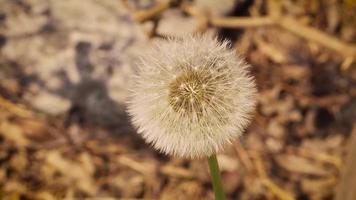 Close Up Of  Dandelion In Garden
