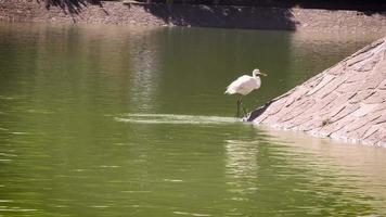 Heron Eating In Artificial Lake Chapultepec Mexico