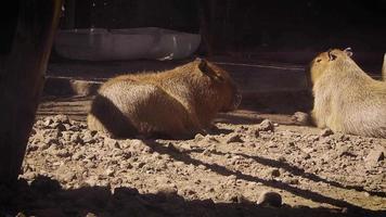 Two Capybaras In Zoo Habitat