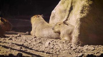 Three Capybaras And A Bird In Zoo Habitat