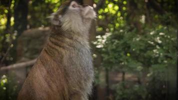 close-up de macaco no habitat do zoológico