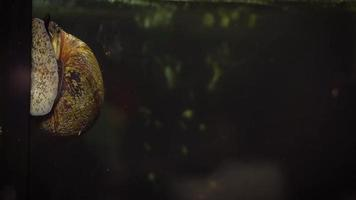 Freshwater Snail In Aquarium