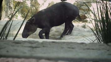 Close Up Of Tapir In Zoo Habitat