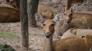 pequeño ciervo mirando a la cámara en la naturaleza
