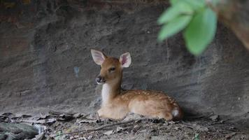 little deer sitting up against a stone wall in the wild video