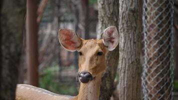 close up of a little deer walking in the wild video