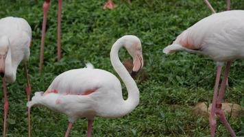 bando de lindos flamingos em ambiente natural video