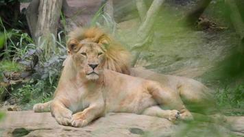 leões (panthera leo) relaxando na selva video