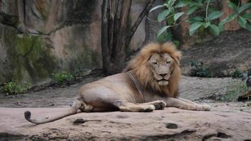 Lion (panthera leo) relax in the wild video