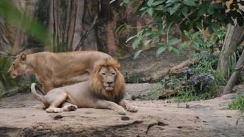 Lions (panthera leo) relax in the wild video