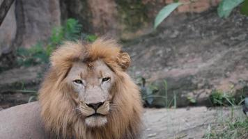 vida de leão (panthera leo) relaxe na selva video