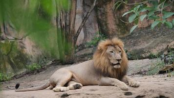 Life of Lion (panthera leo) relax in the wild video