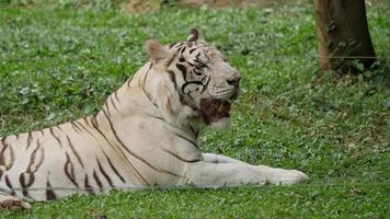 White tiger in the zoo video