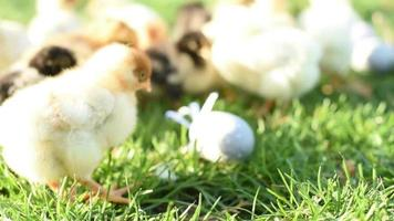 Close up newborn chickens in warm tone and beak on the grass field on green background.