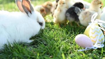 Close up newborn chickens and easter bunny in warm tone on the grass field on green background.