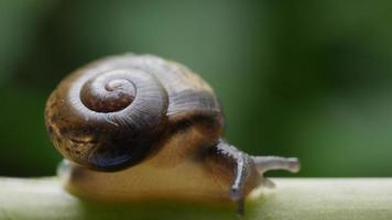 Close up view of a small snail slowly moving across a twig video