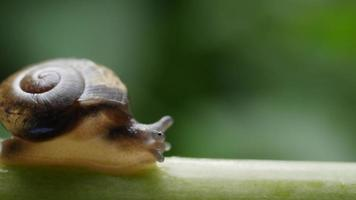 Close up view of a small snail slowly moving across a twig