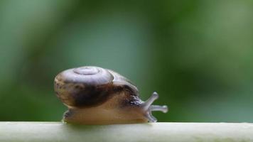 close-up de um pequeno caracol movendo-se em um galho video
