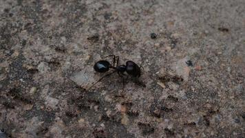Close up of black house ants on the ground working together in nature.
