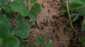 gros plan de fourmis noires sur le terrain travaillant ensemble dans la nature. video