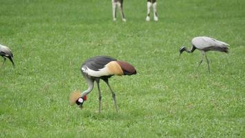 Pájaro grulla coronada negra en un campo de hierba