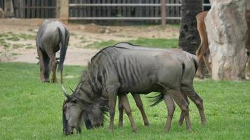 wildebeest eating grass in nature video
