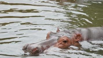 Life of a hippo lying in the lake