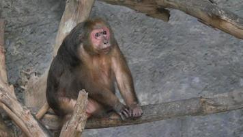 Mono rhesus salvaje en el bosque video