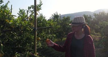 o dono de um pomar de laranjas fica feliz com suas árvores frutíferas