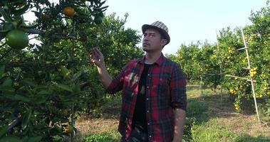 fazendeiro olha uma laranjeira no jardim de laranjas