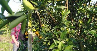 El hombre agricultor mira la granja de árboles frutales de naranja en el jardín de naranjos