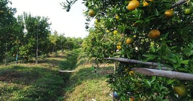 agricultor mira granja de árboles frutales de naranja en el jardín de naranjos