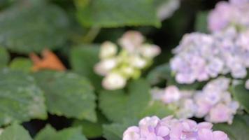 fiore di ortensia viola e sfondo verde foglia in giardino in estate soleggiata o primavera
