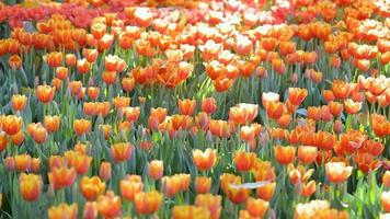 Flor de tulipán con fondo de hoja verde en campo de tulipanes en invierno o día de primavera