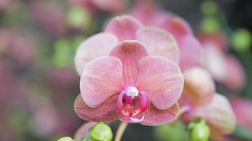 Orchid flower in orchid garden at winter or spring day. Phalaenopsis Orchid.