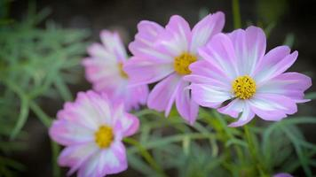 Cosmos flower in garden at winter or spring day.