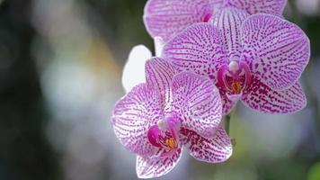 Orchideenblume im Garten am Winter- oder Frühlingstag. Phalaenopsis Orchidee.