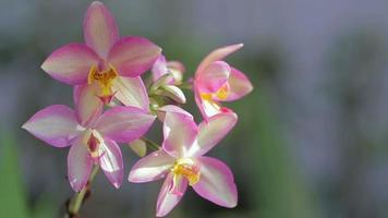 fleur d'orchidée dans le jardin en hiver ou au printemps. video