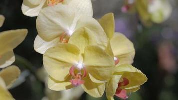 fleur d'orchidée dans le jardin en hiver ou au printemps. orchidée phalaenopsis. video