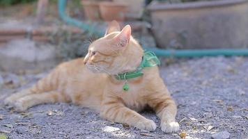 bonito gato doméstico deitado no chão. gato tailandês laranja e branco.