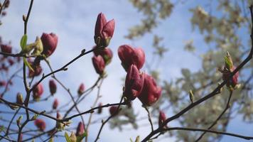 Beautiful pink flowers of magnolia bloom closeup in broad daylight on natural background