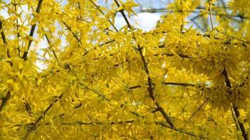 arbustos de forsythia florecieron flores amarillas. día soleado de primavera, el arbusto comenzó a florecer flores amarillas. hermoso arbusto en la luz del sol