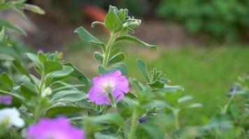 Flores lilas en el macizo de flores del jardín en video real de alta calidad a cámara lenta de 1080p