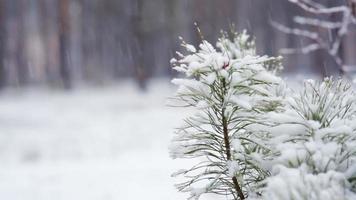 ramo de pinheiro na neve. queda de neve no parque florestal. paisagem de inverno no parque turva coberto de neve. video